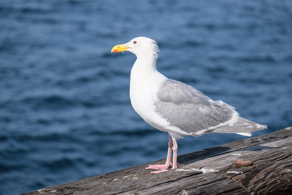 The Majestic Seagull